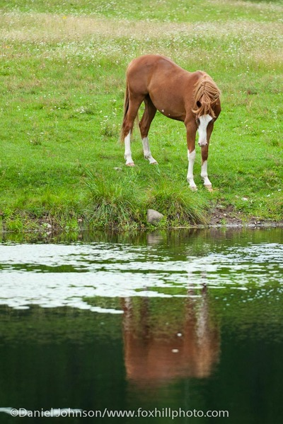 Paint horse looking at his reflection in a pond