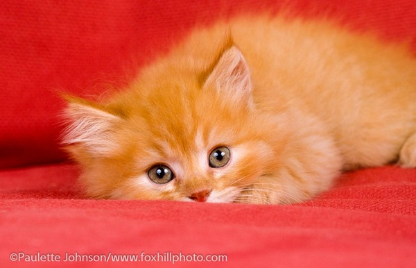 Orange tabby kitten, portrait