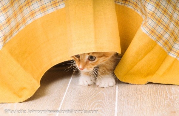Kitten hiding under tablecloth