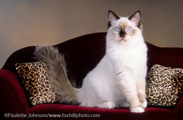 Ragdoll cat on sofa