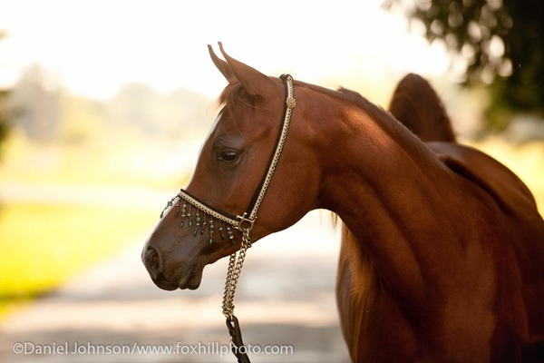 Portrait of an Arabian filly in show tack.