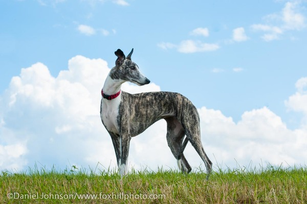 Whippet dog on a hill