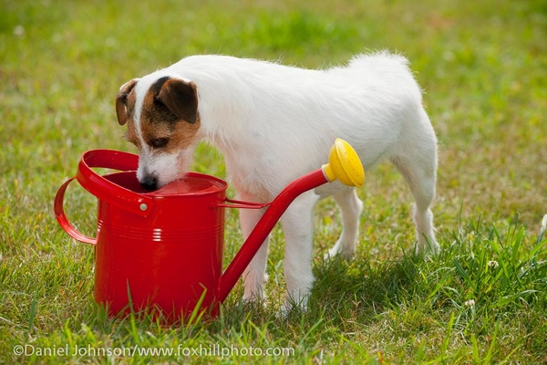 Jack Russell Terrier, broken coat, looking in watering can