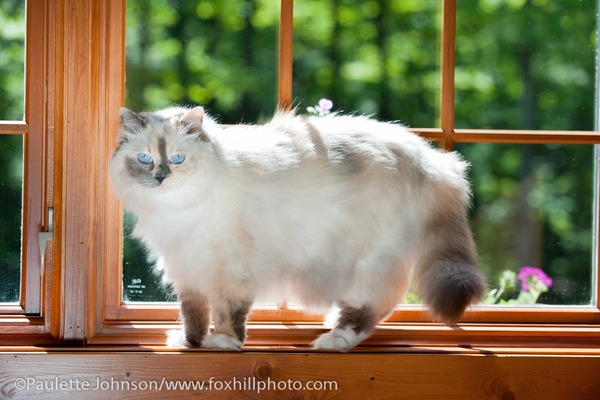 Blue/Cream Tortie Point Mitted Ragdoll cat, walking on window