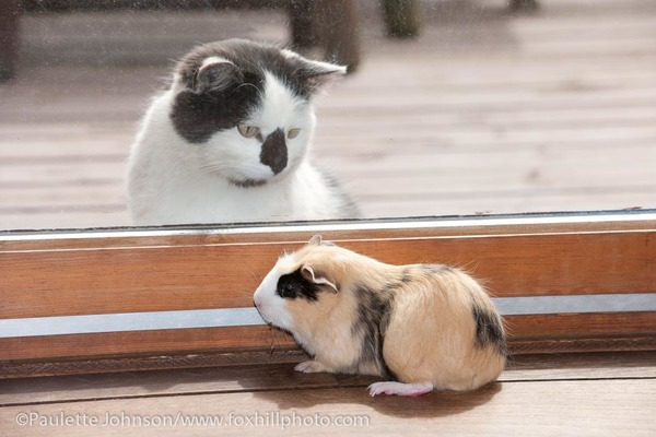 Cat looking at Guinea Pig through patio door