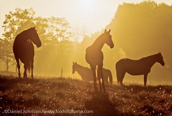 A peaceful herd of horses resting in the sunset.