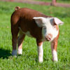 Hereford Hog piglet outdoors
