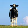Holstein calf, yearling, in field