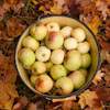 Bucket of apples in autumn leaves