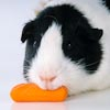 Guinea Pig, short haired black and white eating carrot