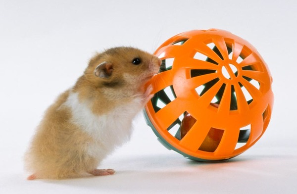 Teddy Bear hamster playing with ball toy