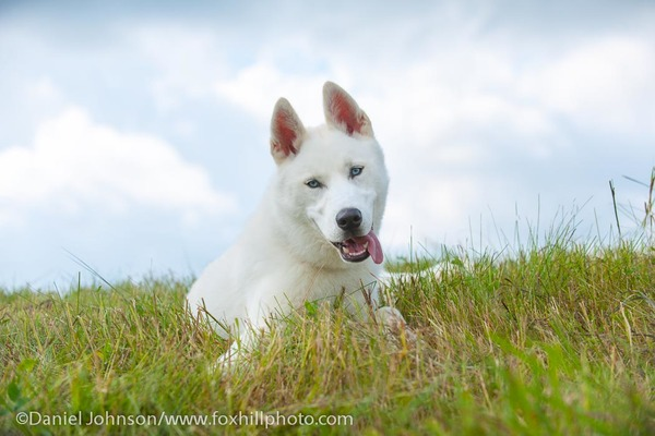 Siberian Husky, white, lying on a hill with dramatic clouds
